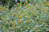 Spotted Jewelweed (Impatient Biflora) Essence Grander® Treated for enhanced absorbability and effectiveness Mythos: Essence helps those who need patience, inner calm and a sense of safety. Tincture topically for poison ivy, hemorrhoids, insect bites, burns, rashes