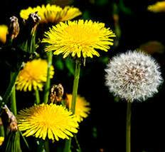 Dandelion (Taraxacum officinale) Tincture Grander® Treated for enhanced absorbability and effectiveness Mythos: For thoes who are chronic do-gooders and need self care, diuretic, liver and digestive tonic, blood purifier, source of potassium