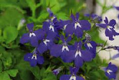 Lobelia (Lobelia Inflate) Tincture Grander® Treated for enhanced absorbability and effectiveness : Mythos Respiratory stimulant and expectorant, asthma, powerful relaxant, emetic, Essence Good for addictions, for people who feel congested or stuck, cravings, drug addictions, blood cleanser liver cleanser