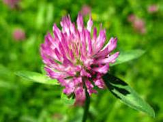 Red Clover (Trifolium Pretense): Grander® Treated for enhanced absorbability and effectiveness Mythos: Essence promoter self-awareness lessons anxiety helps to bring forth your truth,  Tincture: Blood purifier, anti-neoplastic, psoriasis, eczema, alternative, liver cleanser, bronchitis, fibroids