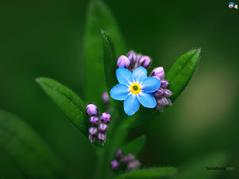 Forget Me Not ((Myosotis sylvatica) Essence juglans nigra. Grander® Treated for enhanced absorbability and effectiveness Mythos: Works on the pineal gland, or third eye, stimulates the subconscious to promote conscious connections with loved ones on the other side. Helps with sleeping and dreaming