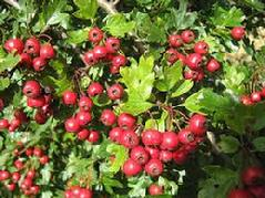 Hawthorn (Crataegus Lavigata) Essence or tincture Grander® Treated for enhanced absorbability and effectiveness Mythos: Heart tonic, high blood pressure, murmur, angina, circulation, arteriosclerosis, fat metabolism, CHF, periodontal disease, very gentle, The Essence heals grief and broken hearts, Helps you move into a heart centered consciousness