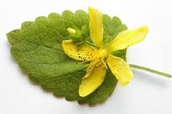 Lemon Balm (Melissa Officinalis) Essence Grander® Treated for enhanced absorbability and effectiveness Mythos: Essence Good for addictions and those who don't feel present on this Earth. Tincture Promotes menstruation, eases cramps, reduces hot flashes, anxiety, ADHD, insomnia, depression, externally for HSV, insect repellant.